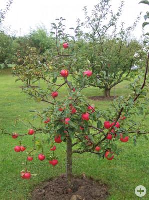 Apfelbaum im Lehrgarten